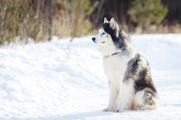 Сибирский хаски собака черно-белого окраса зимой, смотрит в камеру. copyspace