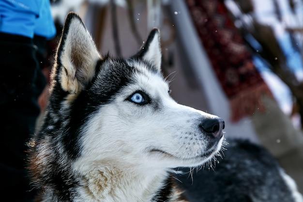 冬の青い目をしたシベリアンハスキー犬の黒と白の色。