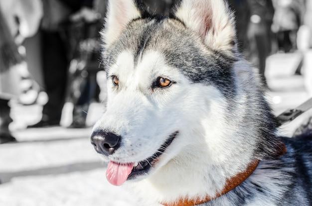 Siberian husky dog. brown eyes. husky dog has black and white coat color.