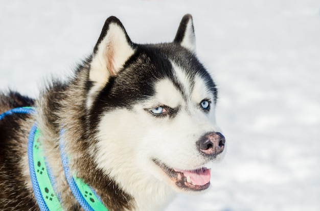Siberian husky dog close up outdoor face portrait. sled dogs race training in cold snow weather. strong, cute and fast purebred dog for teamwork with sleigh.