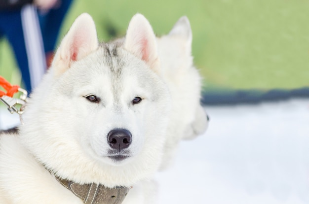 Siberian husky dog close up outdoor face portrait. sled dogs race training in cold snow
