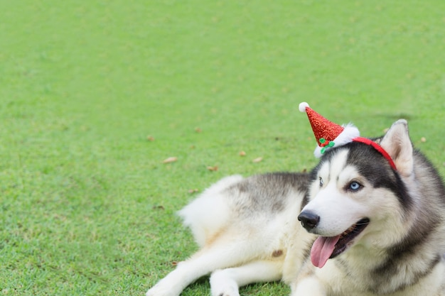 Siberian husky dog dressed santa claus and  lying on the green grass