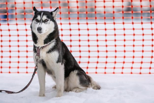 Siberian husky dog on leash, waiting for sled dog race, orange track fence background.