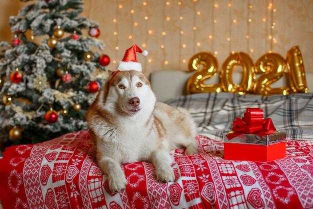 Сибирский хаски собака лежит на кровати возле елки в шапке деда мороза фигурки новый год