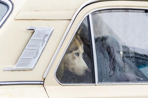 シベリアンハスキー犬は車に閉じ込められ、窓の外を見ています。