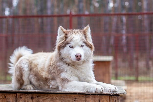 Сибирский хаски, лежа на деревянном доме. собака лежит, скучает и отдыхает. фото высокого качества
