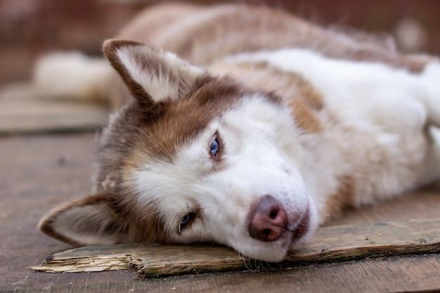 나무 집에 누워 시베리안 허스키 개. 개는 누워 있고 지루하며 쉬고 있습니다.