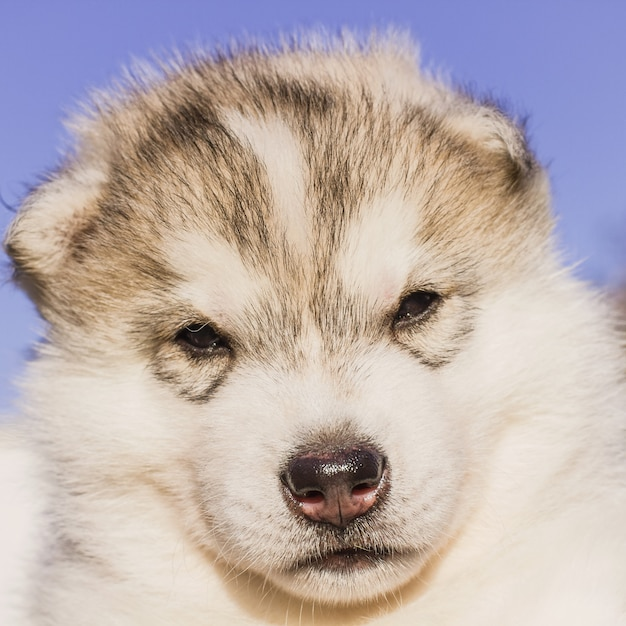 Siberian husky dog outdoors. portrait of a little husky dog puppy. close-up.