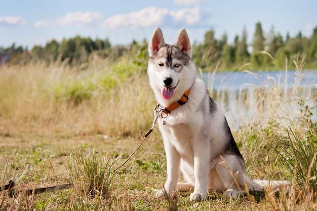 Siberian husky dog, sitting on the river.