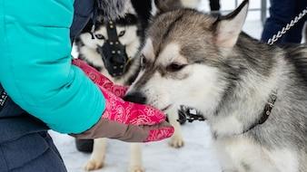 Сибирский хаски, ездовая собака