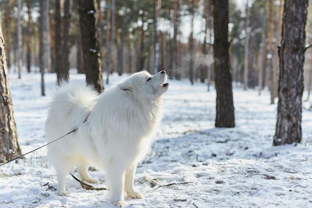 赤いネックレスの遠吠えと曇り空の背景を身に着けているシベリアンハスキー犬