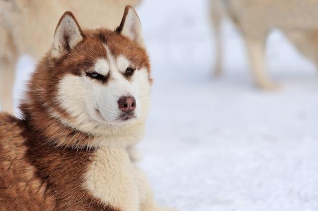 Сибирский хаски зимний портрет