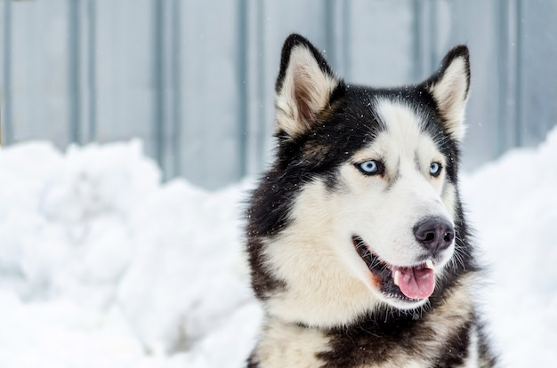 Siberian husky dog with blue eyes. husky dog has black and white coat color.