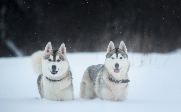 겨울에 시베리안 허스키 개. 눈에 서있는 두 개의 놀라운 거친 개.