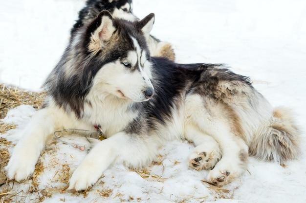 雪の上でリラックスするシベリアンハスキー犬