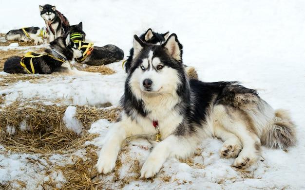 Siberian husky dogs relaxing on snow