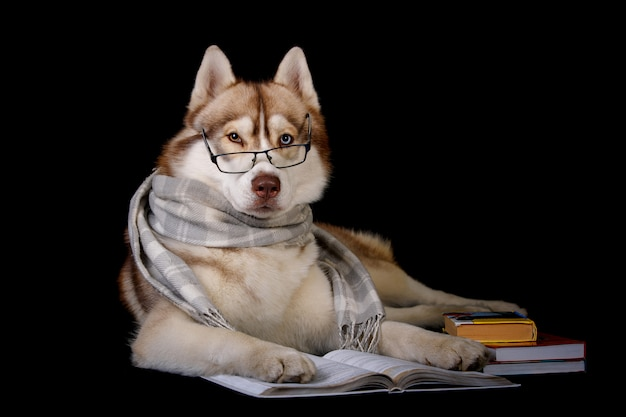 Siberian husky in glasses and a scarf isolated