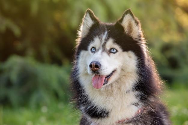 Siberian husky on the grass i