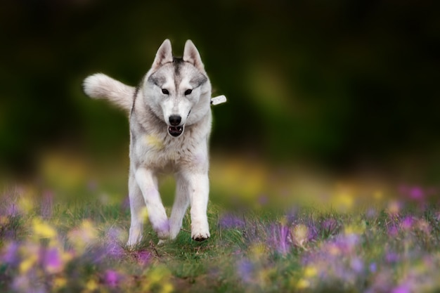 Siberian husky is running.