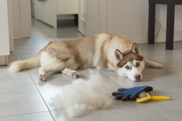 Siberian husky lies on floor in pile of his fur and dog comb.