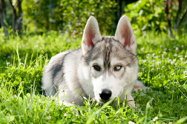 Siberian husky lies on the grass in the summer. different eyes.