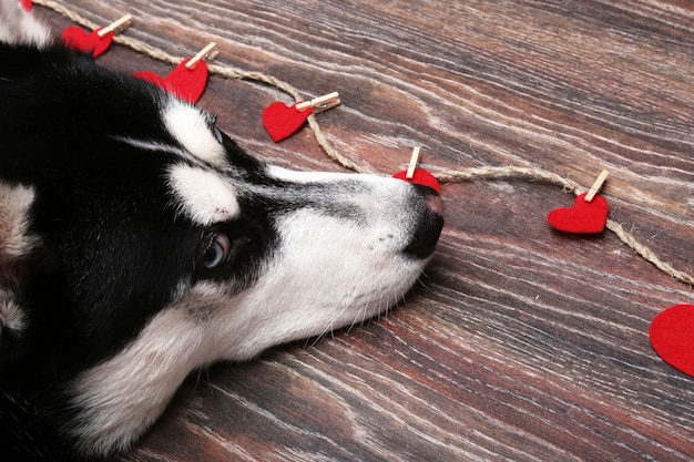 Siberian husky looks at the red hearts.