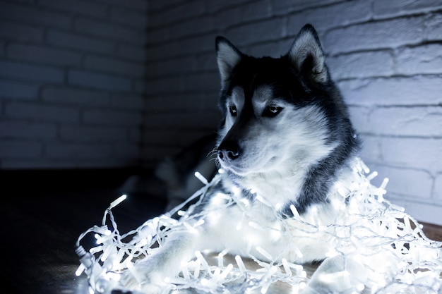 Siberian husky in new year lights. lifestyle with dog. brick wall background