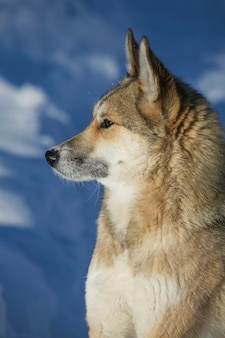 겨울 자연의 시베리안 허스키