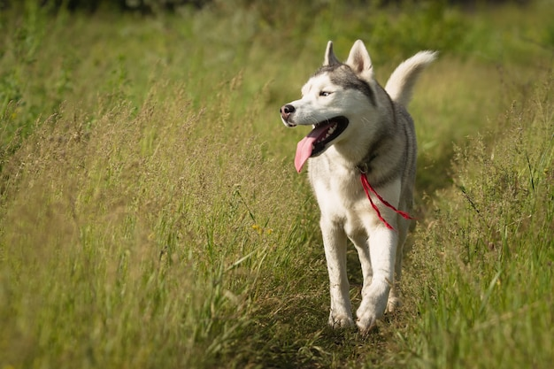 Siberian husky playing on the grass in the field. the puppies and their parents. close-up. active dogs games. northern sled dog breeds.