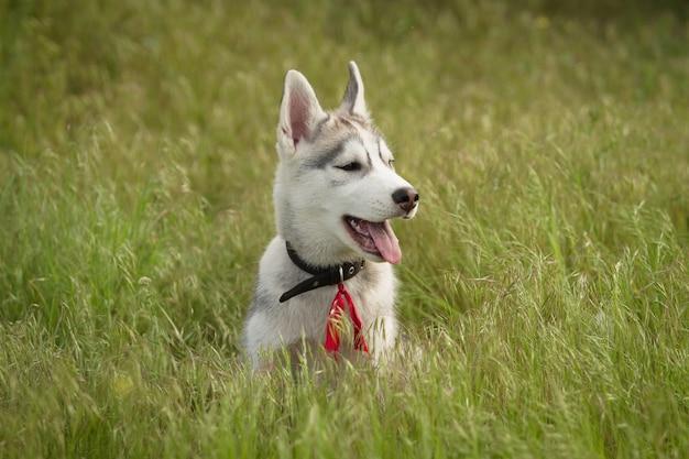 Сибирская лайка играет на траве в поле. щенки и их родители. крупный план. активные собачьи игры. породы северных ездовых собак.