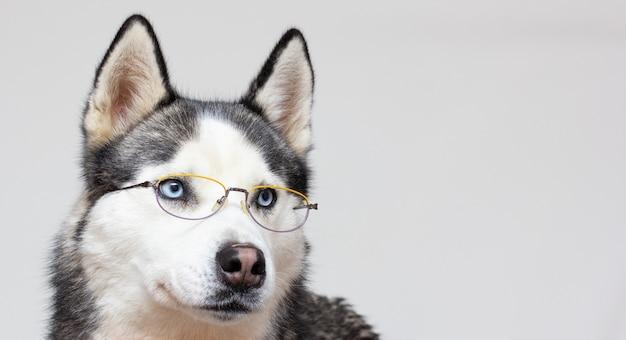 Сибирский хаски портрет в очках на сером фоне