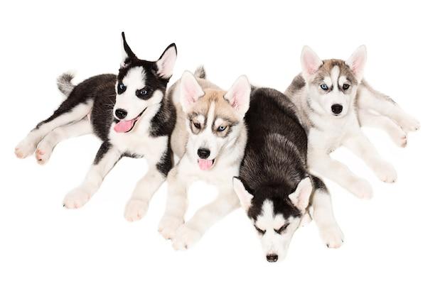 Щенки сибирского хаски. четыре харизматичных щенка на белом фоне. изолированные