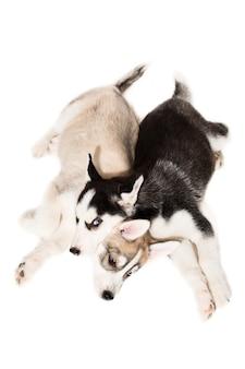 Щенки сибирского хаски. два харизматичных щенка на белом фоне. изолированные