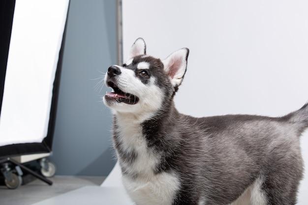 シベリアンハスキーの子犬、白い背景の前に生後3ヶ月。シベリアンハスキーは白い背景で隔離。黒と白の色で面白いハスキーの子犬のスタジオショット。美しいかわいいハスキーの子犬。