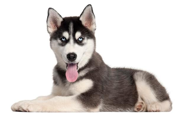 シベリアンハスキーの子犬、4ヶ月、横になっています。