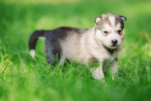 Siberian husky puppy on green grass.
