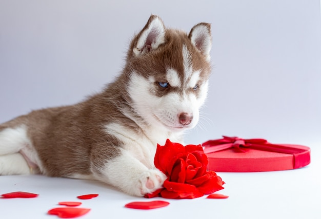 Siberian husky puppy lies on a white background red rose heart valentine's day