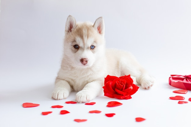 Siberian husky puppy lies with red rose heart valentine's day