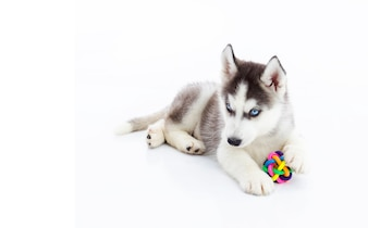 Siberian Husky puppy playing with toy