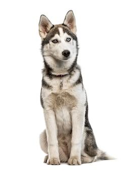 Сибирский хаски щенок сидит, изолированные на белом