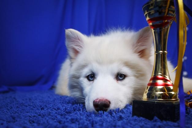 파란색 배경에 컵이 있는 흰색 시베리안 허스키 강아지. 개 챔피언
