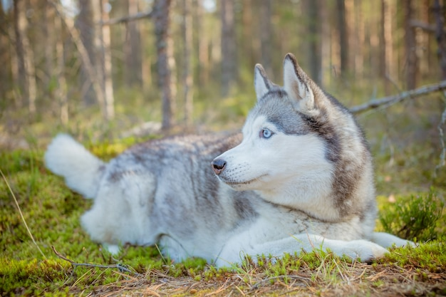 Siberian husky relaxing in autumn forest. dog husky, dog lying on green grass in the forest.