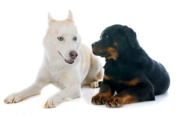 Siberian husky and rottweiler