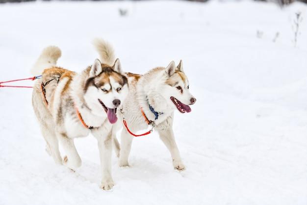 シベリアンハスキーのそり犬チームがハーネスランとプルドッグドライバーを担当。ウィンタースポーツ選手権大会。