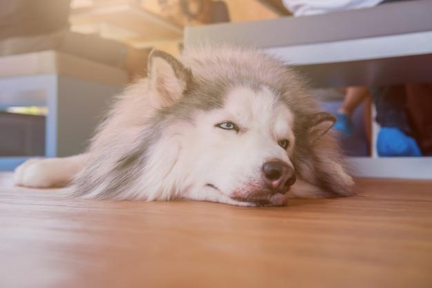 Сибирский хаски, сонная собака и милый питомец