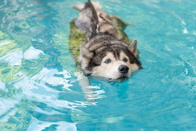 Siberian husky swimming in the pool