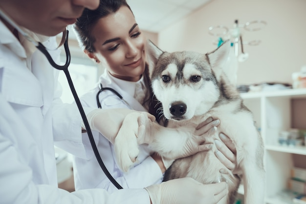 Siberian husky at vet clinic doc with stethoscope