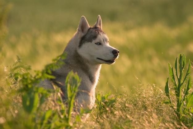 Сибирский хаски гуляет по траве