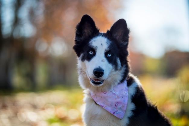 Siberian laika dog