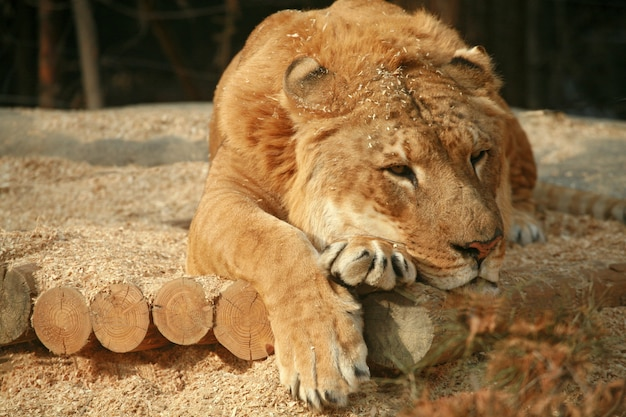 Siberian liger sleeping
